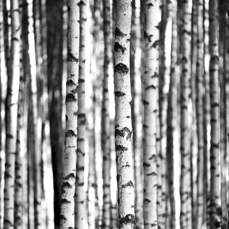 DP00040 | Birch Trees