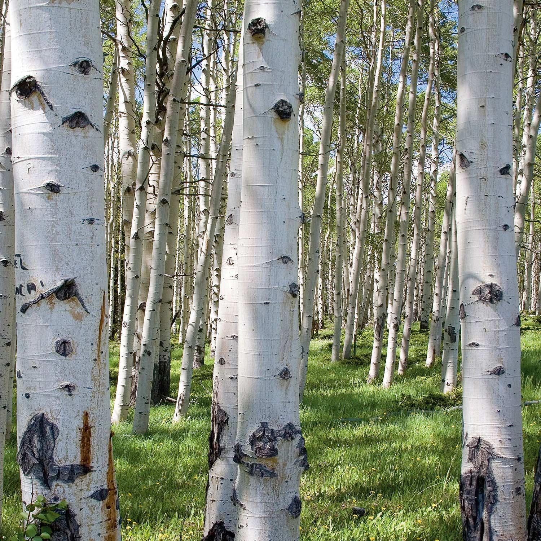 DP00078 | Birch Forest